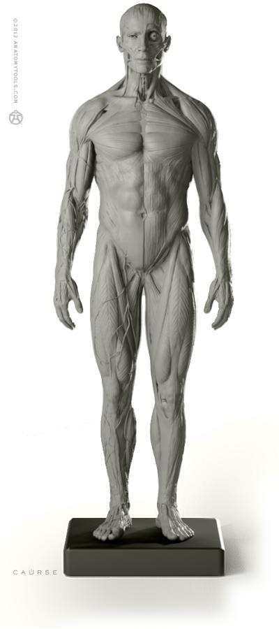 Male Anatomy figure: v.2 | Anatomy | Pinterest | Anatomy, Anatomy ...