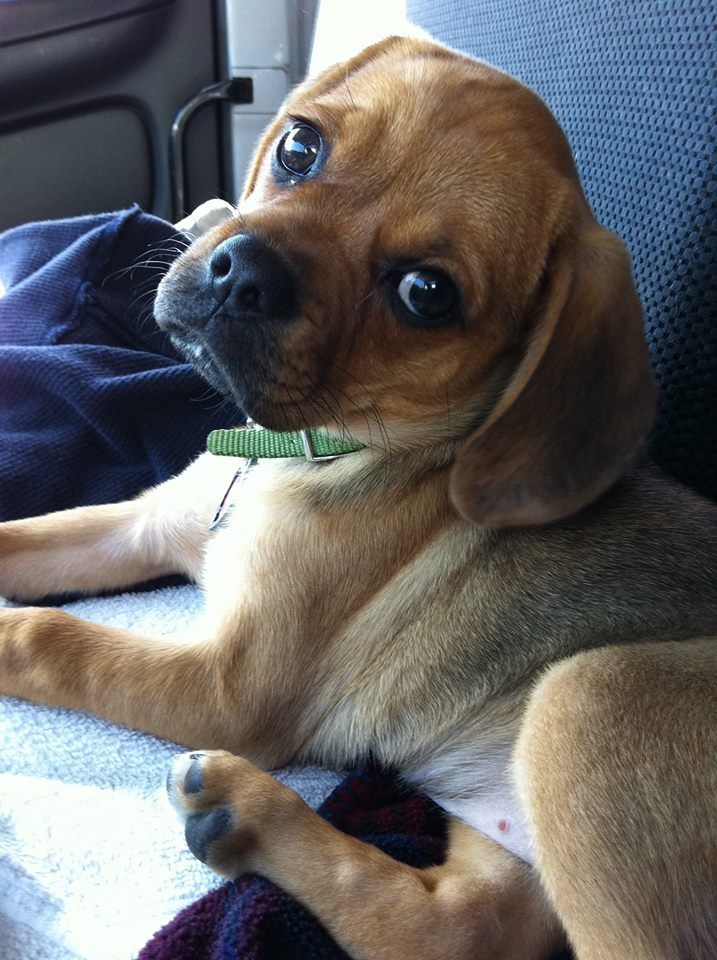 Puggle Puppy Maci Puggle Puppies Puppies And Kitties Cute Dog Pictures