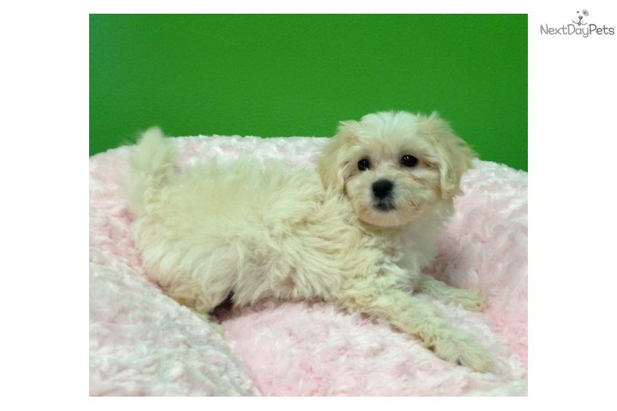 You Ll Love This Female Malti Poo Maltipoo Puppy Looking For A New Home Pets Puppies Maltipoo Maltipoo Puppies For Sale