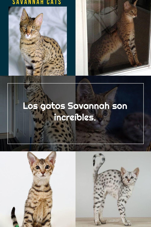 Pin On Savannah Cats