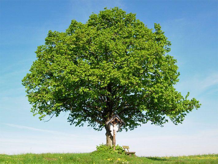 Beste Seite Zur Einteilung Von Bäumen Für Den Garten. Foto Einer Kleinen  Lindeu2026