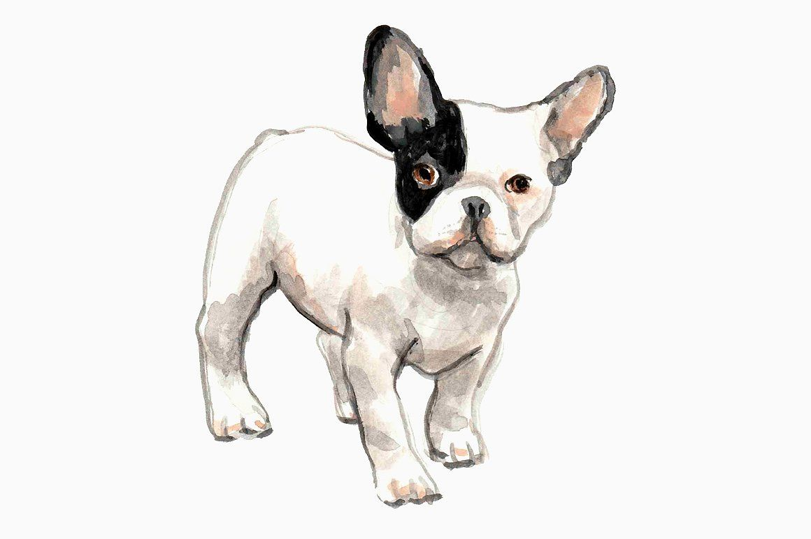Black And White French Bulldogs French Bulldog Drawing French