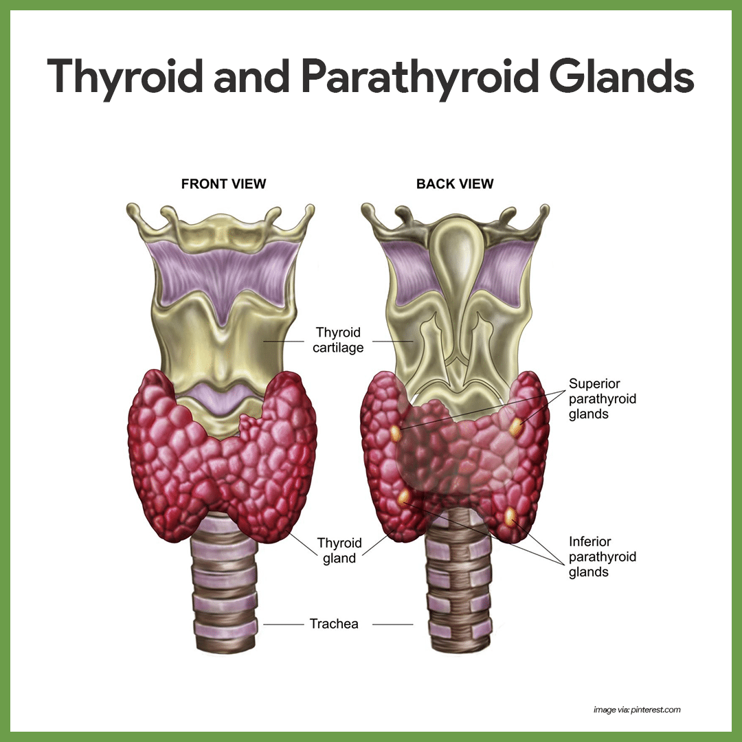 Endocrine System Anatomy And Physiology Thyroid Anatomy And Medical