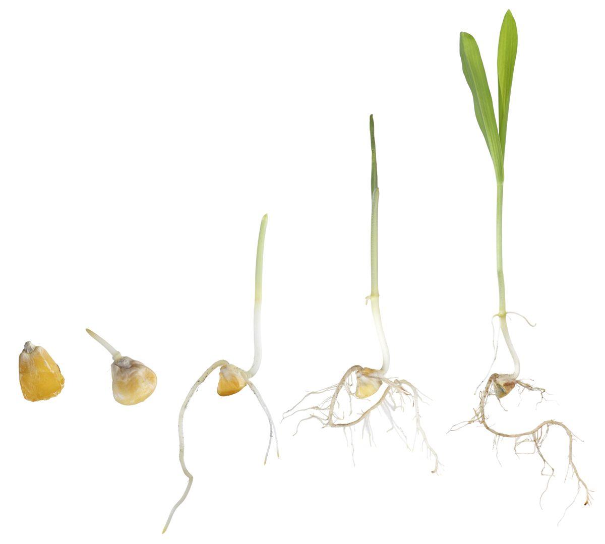 How To Germinate Corn Seeds Mycoffeepot Org