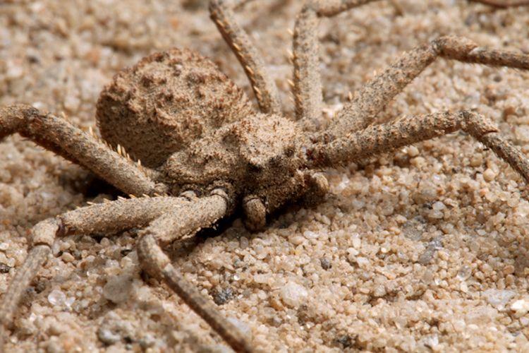 نتيجة بحث الصور عن The Six eyed sand spider