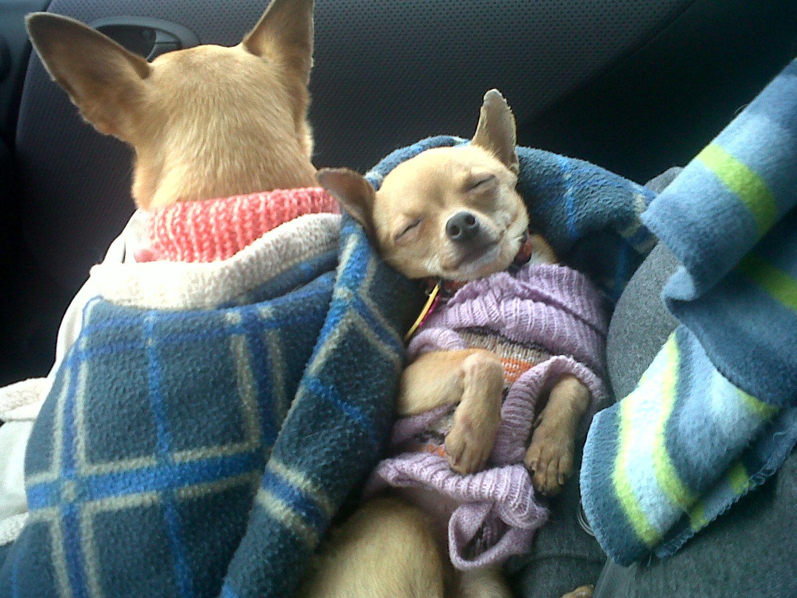 Resultado de imagen para chihuahua dog, sleeping with me