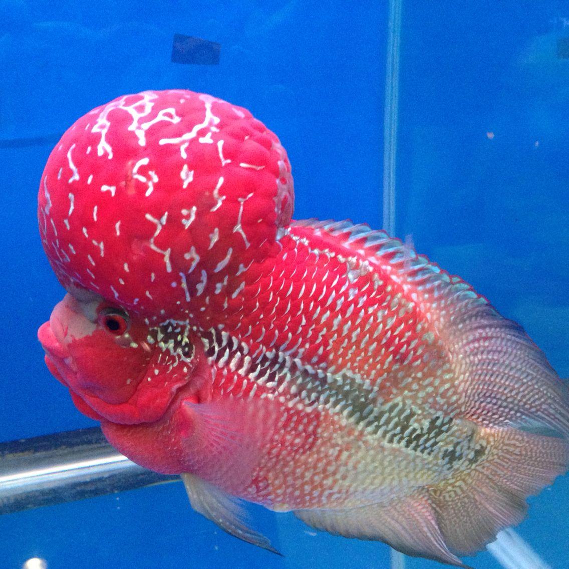 Flowerhorn cichlid Scary fish, Aquarium fish, Dragon fish