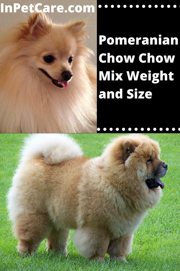 Pomeranian Chow Chow Mix Weight And Size Pomeranian Mix Puppies Pomeranian Mix Chow Chow