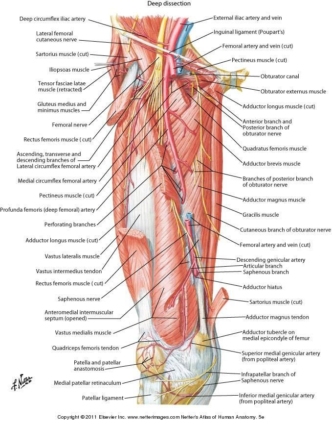 femoral nerve netter - Google Search | Anatomy | Pinterest | Femoral ...