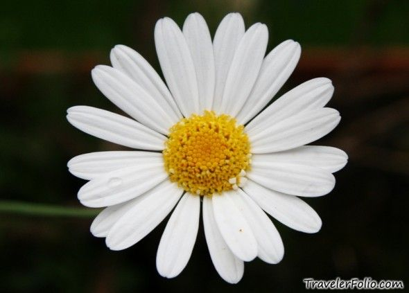 white-daisy | Inspiration Board | Pinterest