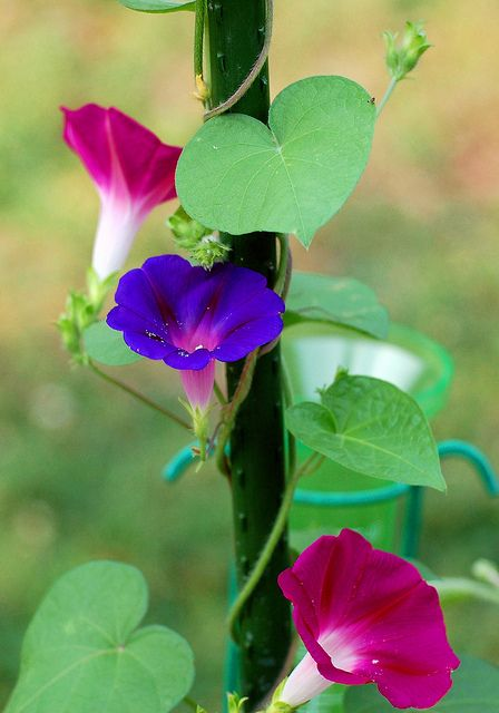 Same Morning Glory Vine Produced Two Colors Morning Glory Flowers Pretty Flowers Amazing Flowers