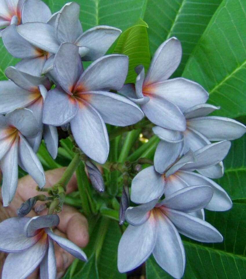 North Queensland Blue Plumeria Flowers Plumeria Tree Frangipani
