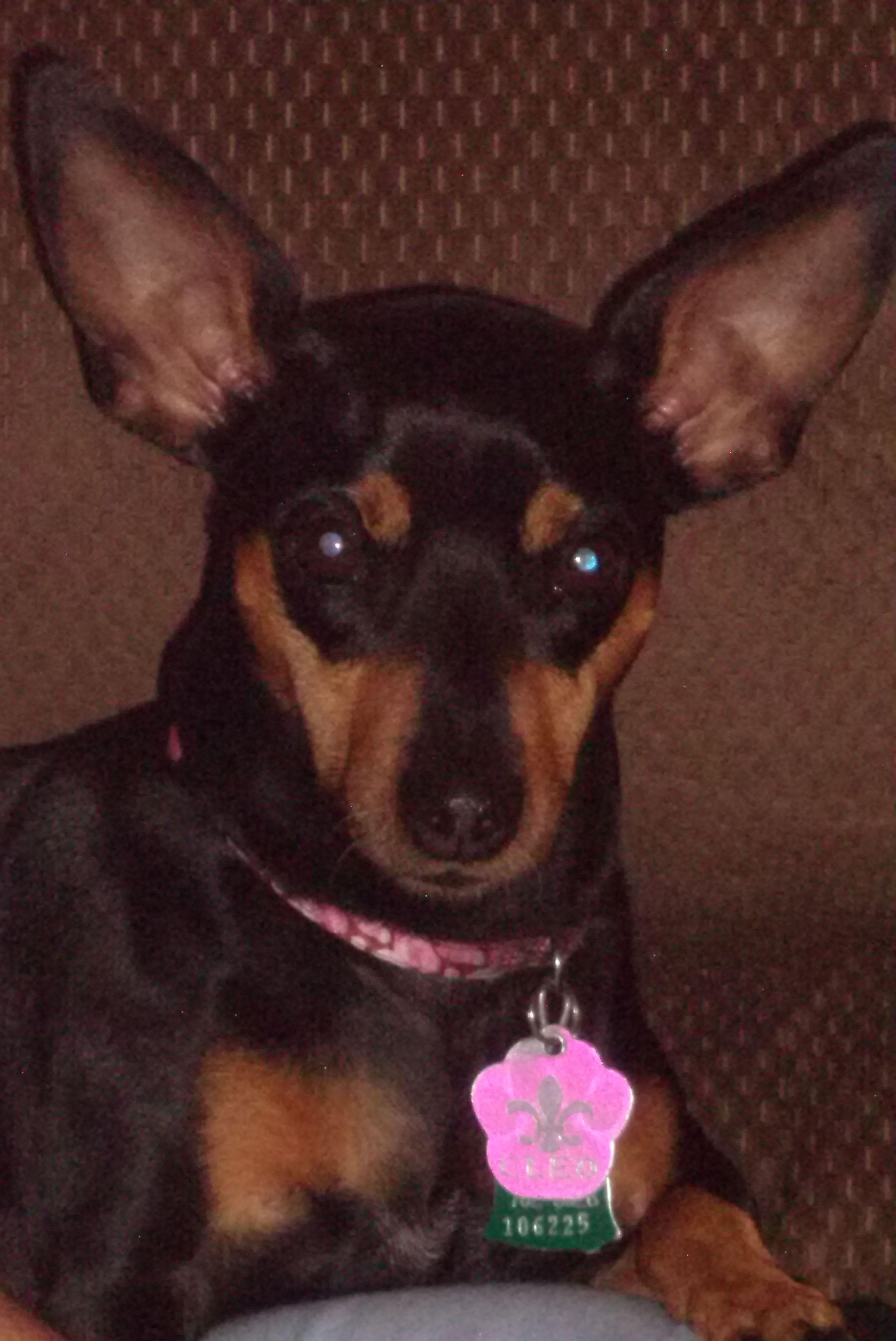 Cleo, my miniure pincher
