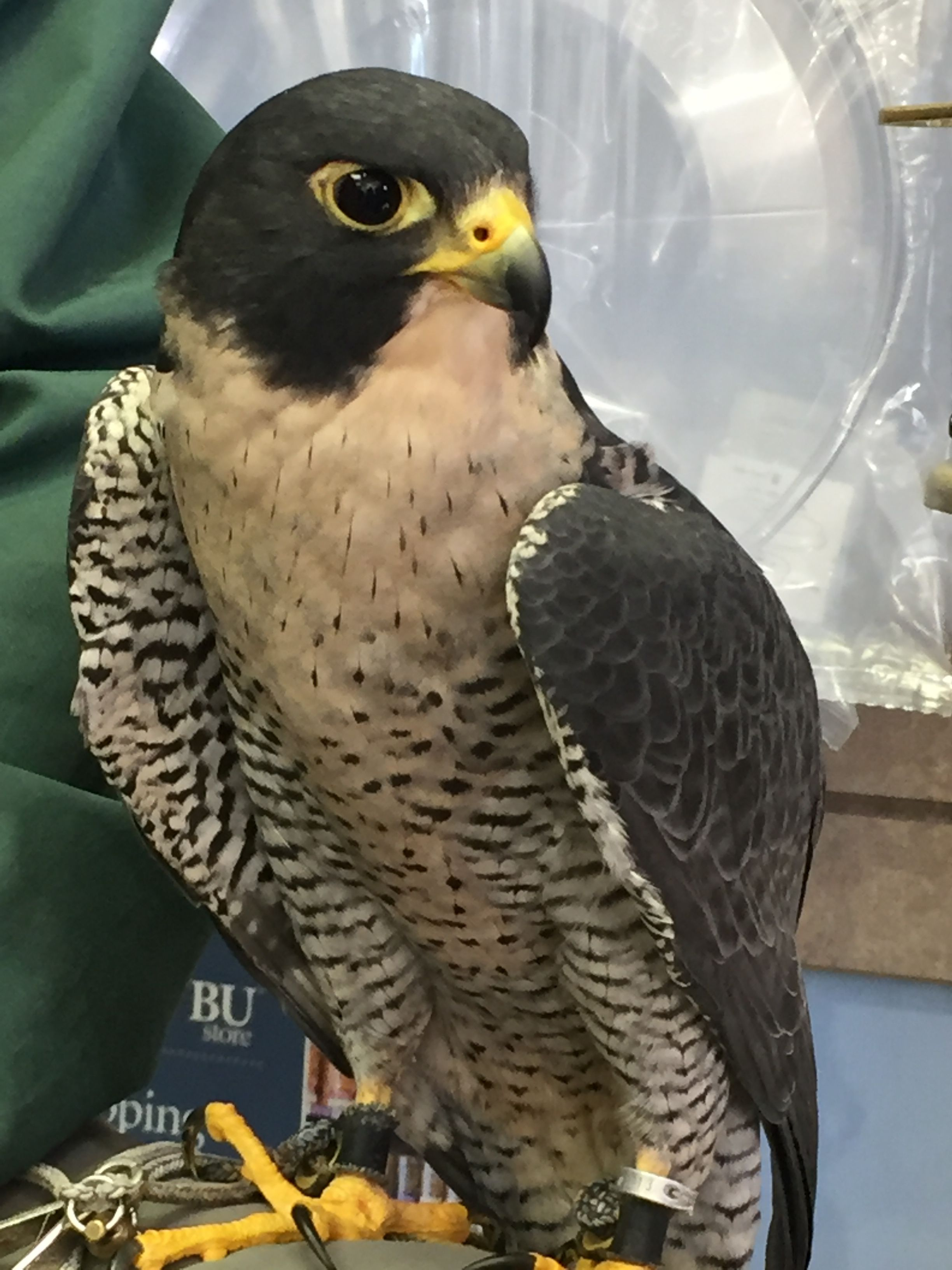 Peregrine Falcon Pretty Birds Peregrine Falcon Birds