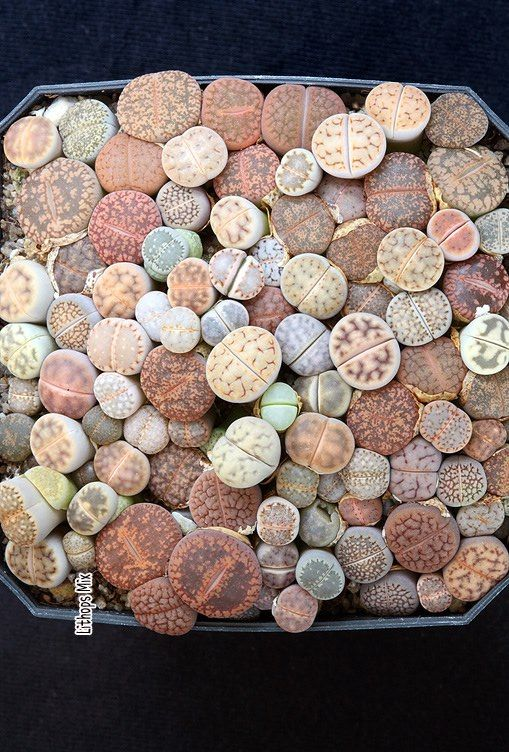 Lithops occur naturally across wide areas of Namibia and