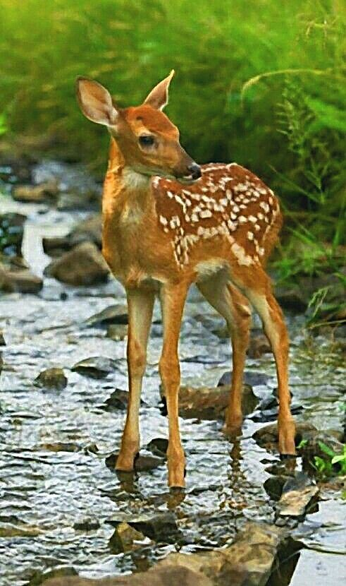 Fawn Standing On A Creek Bed Cute Animals Animals Baby Animals