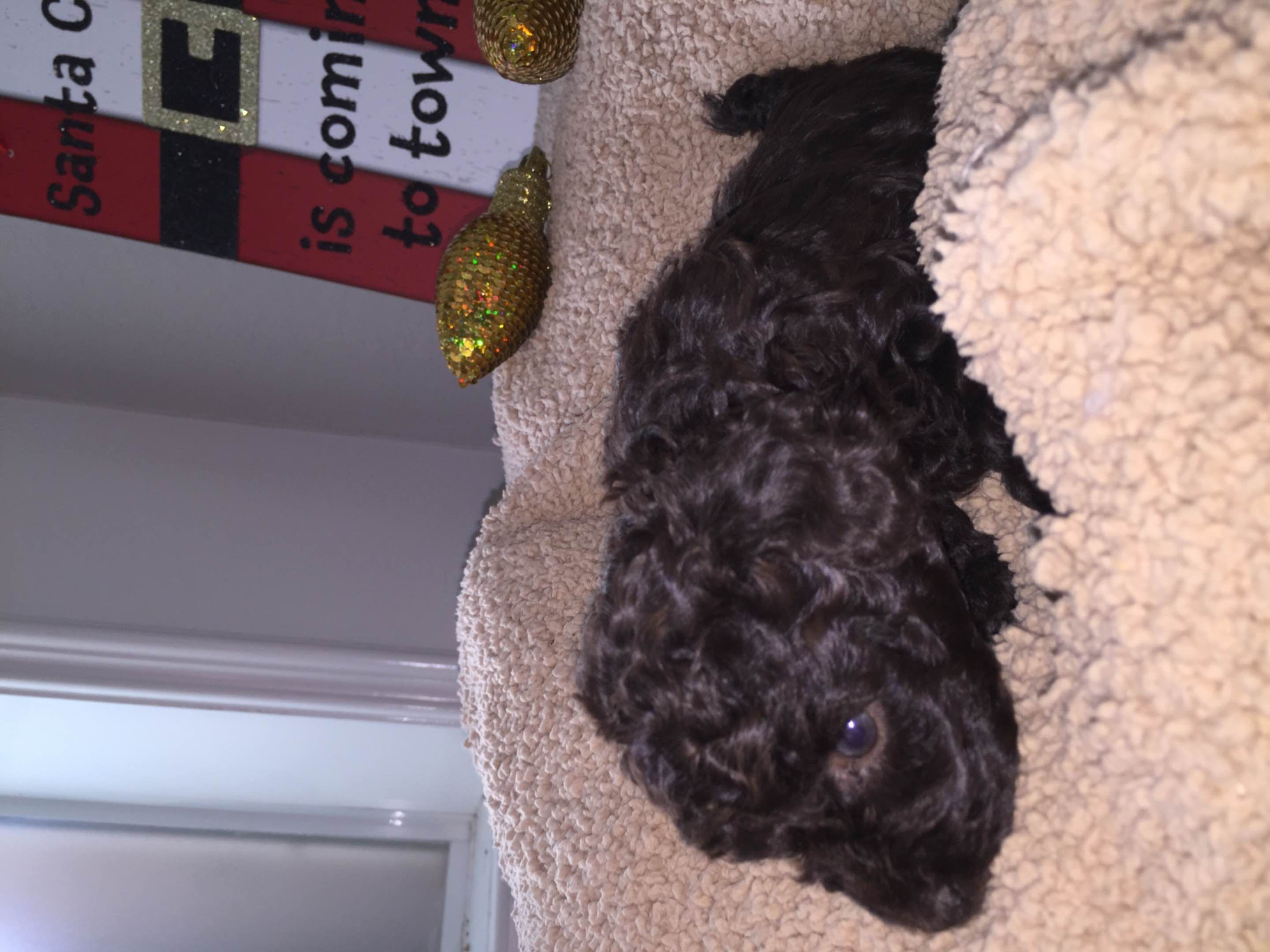 Lynn Ellis Has Poodle Puppies For Sale In Bay City Tx On Akc