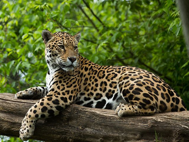Jaguar on tree trunk cat wildlife and animal jaguar in tree recent photos the commons getty collection galleries world map gumiabroncs Gallery