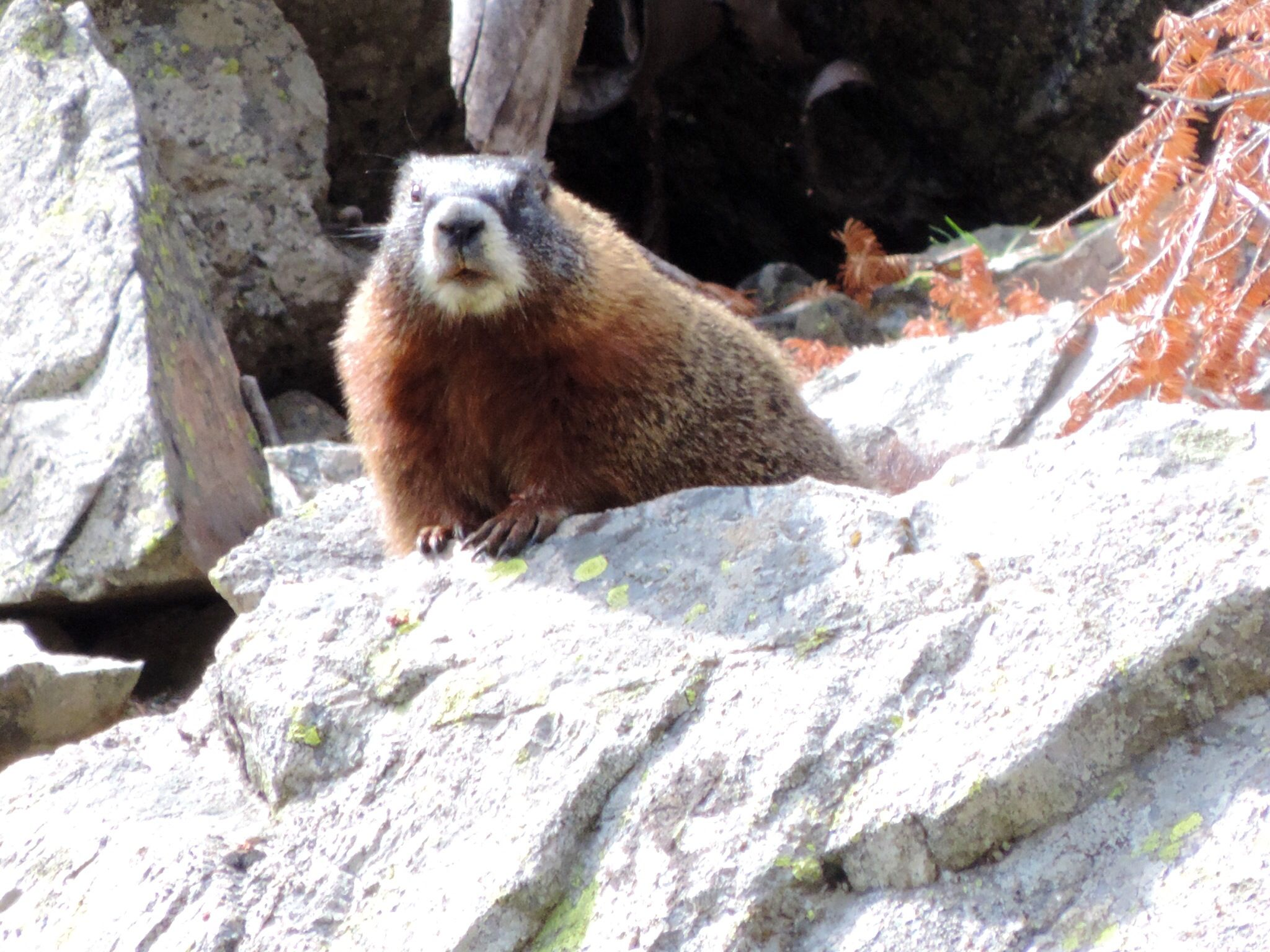 Marmota - Grand Teton National Park Wyoming - Agosto 14