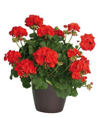 Geranio zonal rojo garden pinterest geranios rojo y - Tiestos para orquideas ...