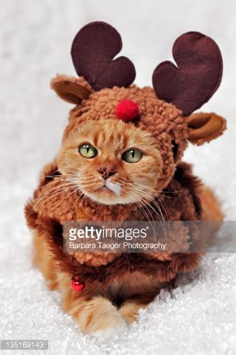 Portrait of orange cat in reindeer costume. & Portrait of orange cat in reindeer costume. | Lol cats | Pinterest ...