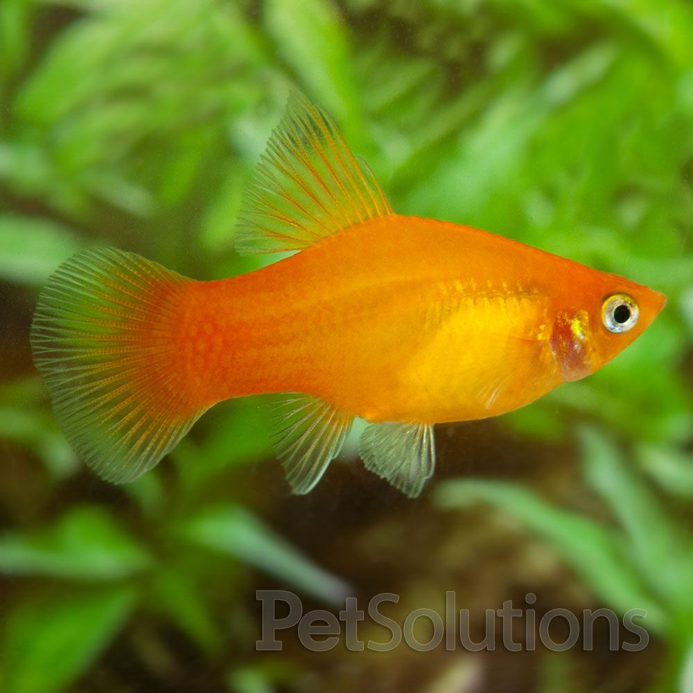 This is a sunburst platy. I\'ve got eight living in a 20 gallon tank ...