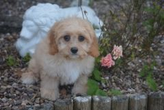 Beautiful Cavachon Boys And Girls Puppies For Sale Cavalier King