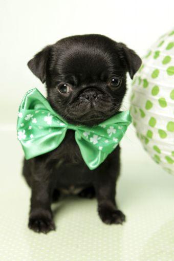 Cute Black Pug Puppy Happy St Patrick S Day Https Www Facebook