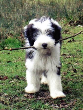Bearded Collie Puppies For Sale Pets Corner Bearded Collies