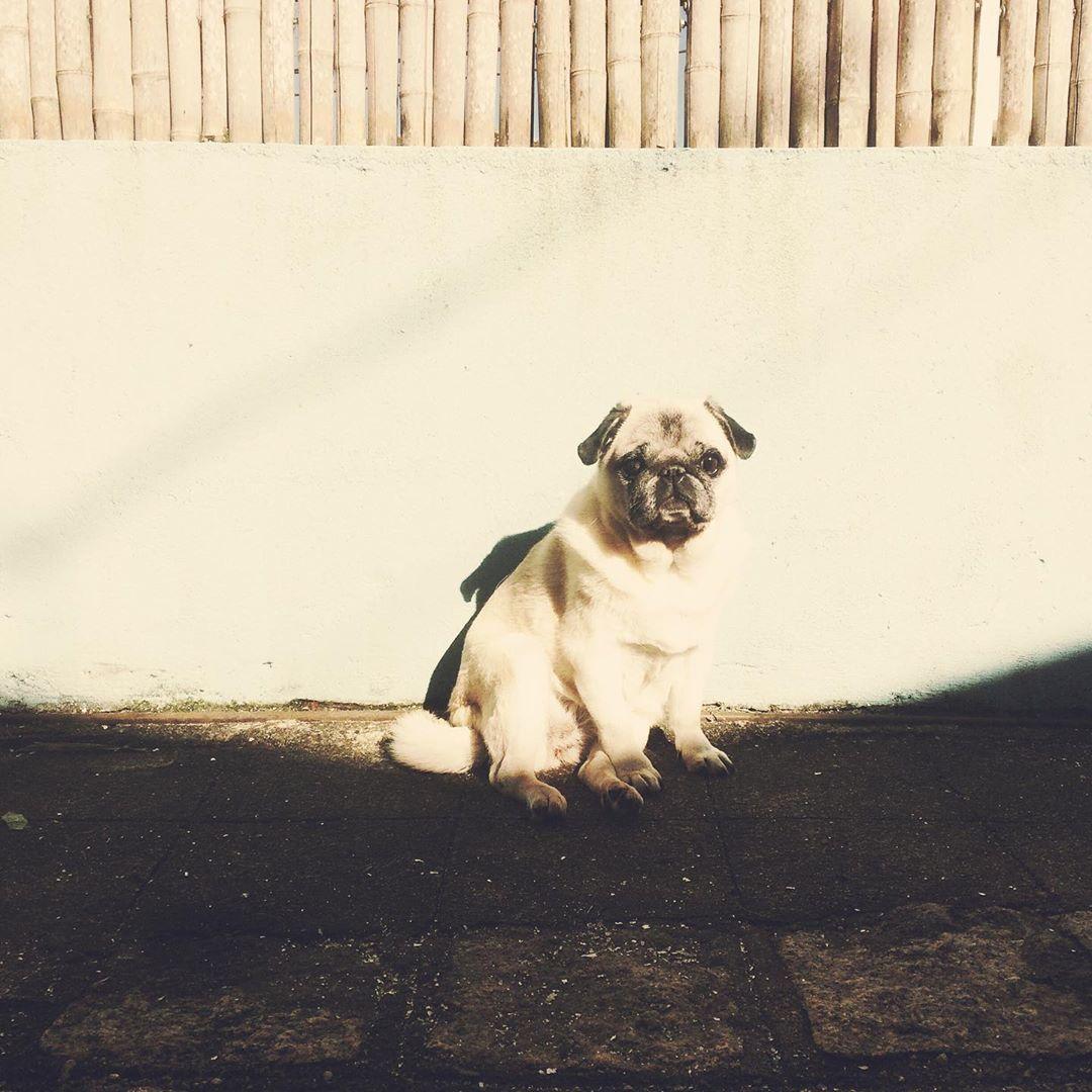 Nalah Puglovers Pug Ilovemydog Instapug Instagram Hipstamatic