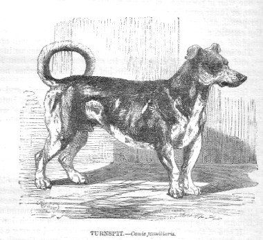 "Turnspit Dog: The Turnspit Dog was a short-legged, long-bodied dog bred to run on a wheel, called a turnspit or dog wheel, to turn meat so that it would cook evenly. The dogs were also taken to church to serve as foot warmers. One story ... during service at a church in Bath, the Bishop of Gloucester gave a sermon and uttered the line ""It was then that Ezekiel saw the wheel…"". At the word ""wheel"" several turnspit dogs, who had been brought to church as foot warmers, ran for the door."