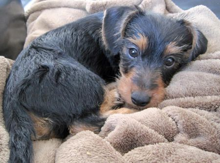Dorkie Puppy Half Yorkie Half Dachshund If I Didn T Have My