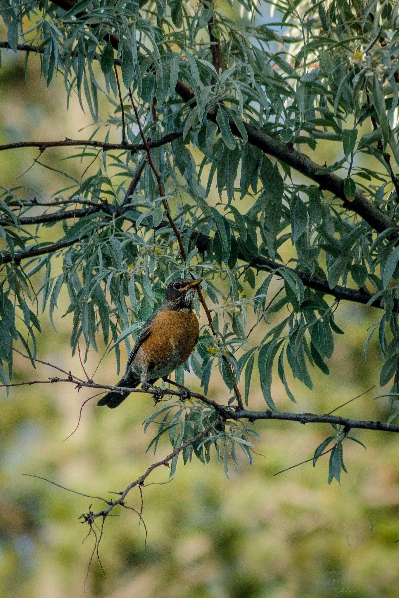 20160622 robin in a tree
