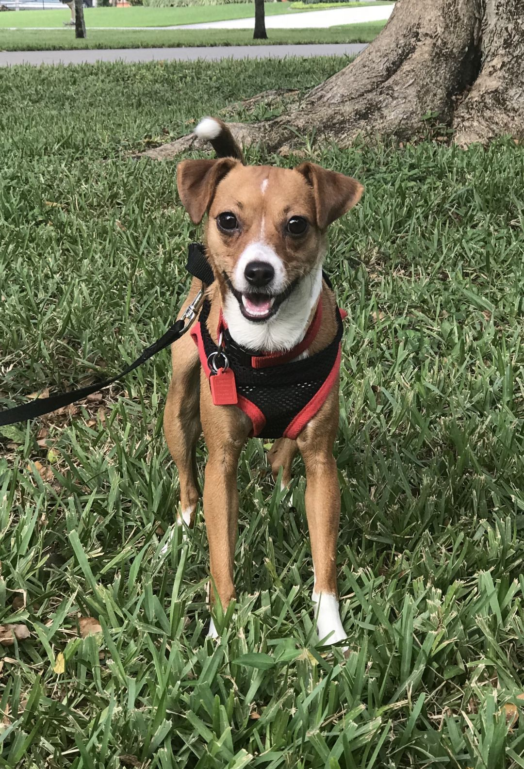 Available Pets At Dachshund Rescue South Florida In Weston Florida Dachshund Adoption Dachshund Rescue Dachshund