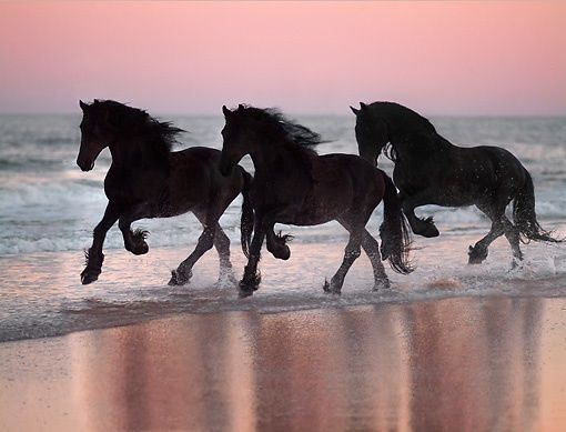 Three friesians