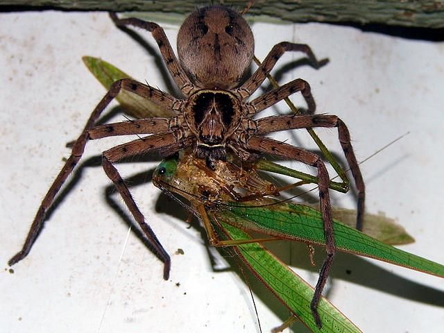 Cane Spiders In Hawaii Grown Women Two Spiders Zip Except