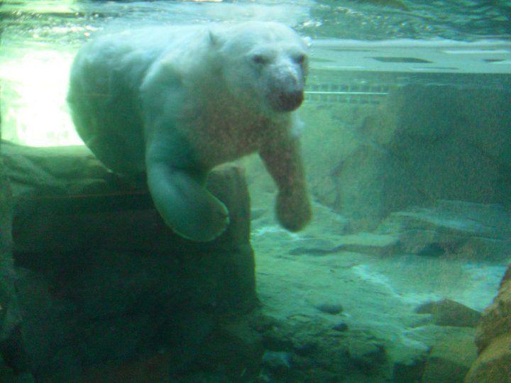 Polar Bear At Memphis Zoo Memphis Zoo Polar Bear Zoo
