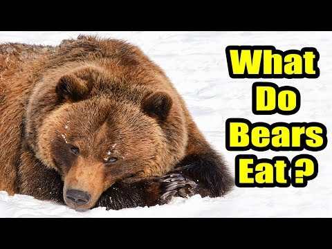 What Do Bears Eat? YouTube Bear, Kodiak bear, Wildlife