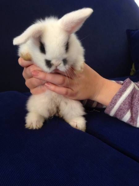 Mini Lop White And Black Boy Rabbits Gumtree Australia Armadale Area Roleystone 1118651812 Black Boys Mini Lop Gumtree Australia