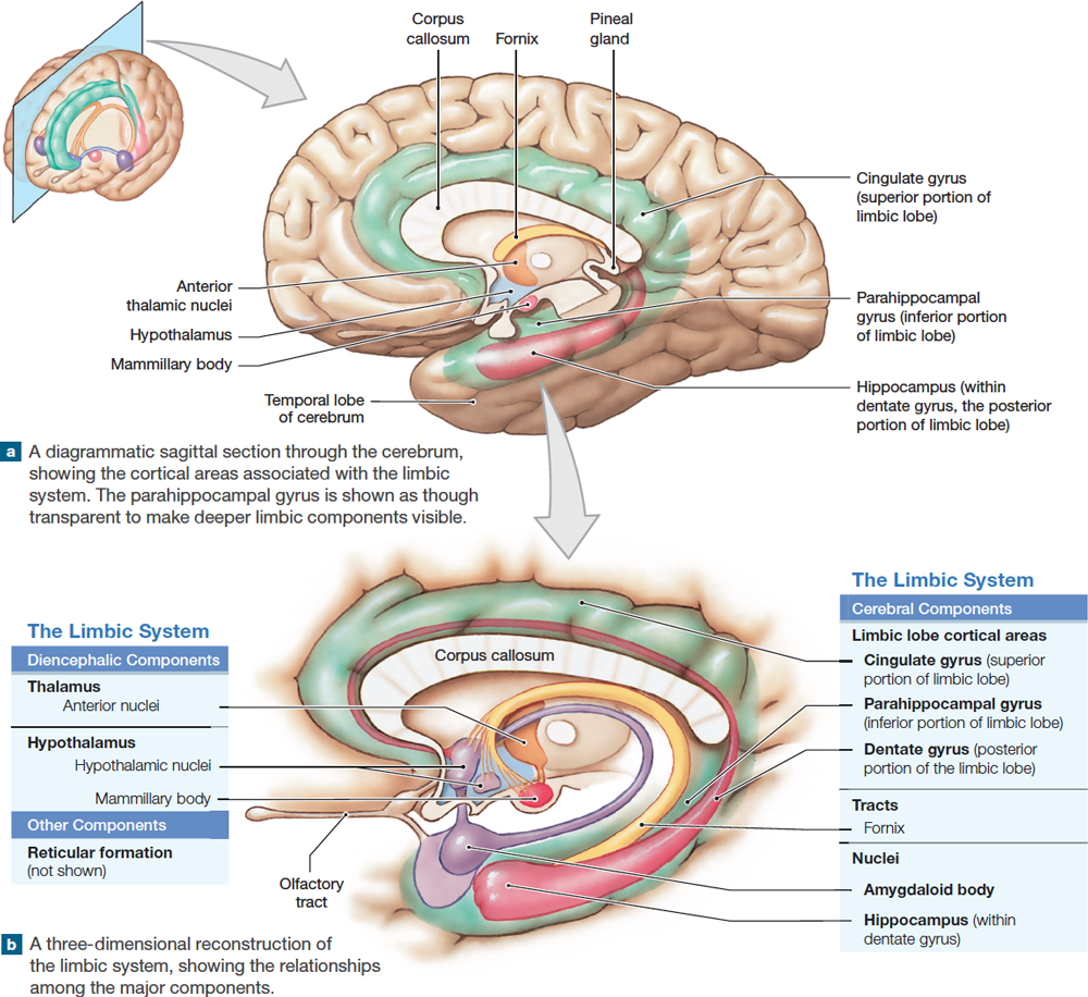 14.8: The limbic system is a group of nuclei and tracts that ...