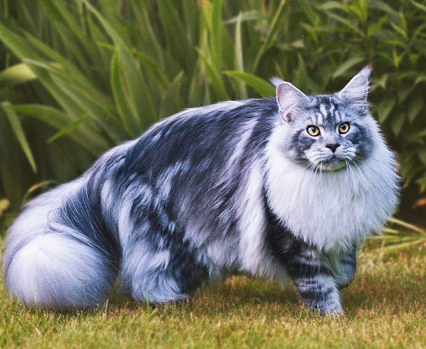 Black Smoke Classic Tabby With Images Gorgeous Cats Pretty