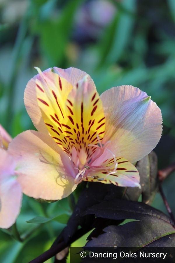 Alstroemeria Butterscotch Peruvian Lily Peruvian Lilies Alstroemeria Yellow Flowers