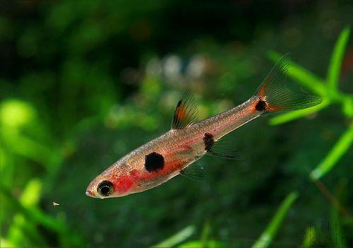 Mini Poissons Pour Nano Aquariums Nanodouce Com Ornamental Fish