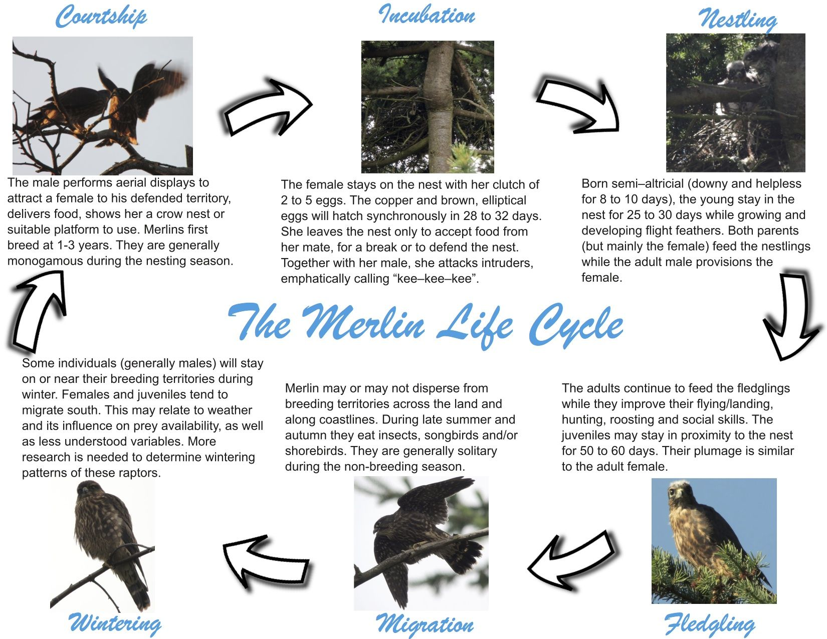 Bird Life Cycle Stages