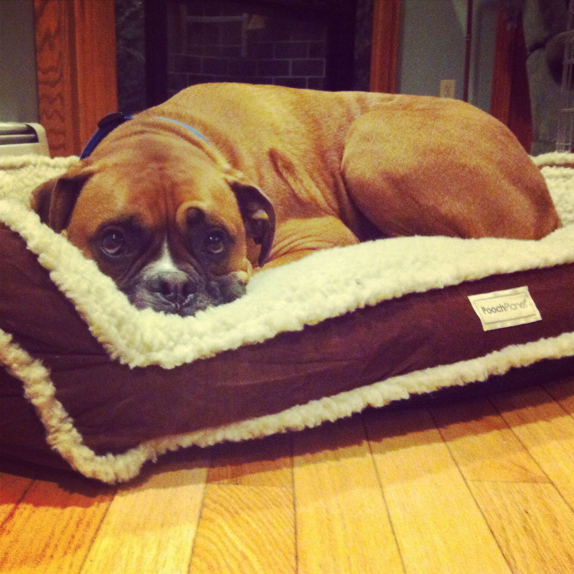 Cute Boxer And His New Bed Boxer Dogs Boxer Bulldog
