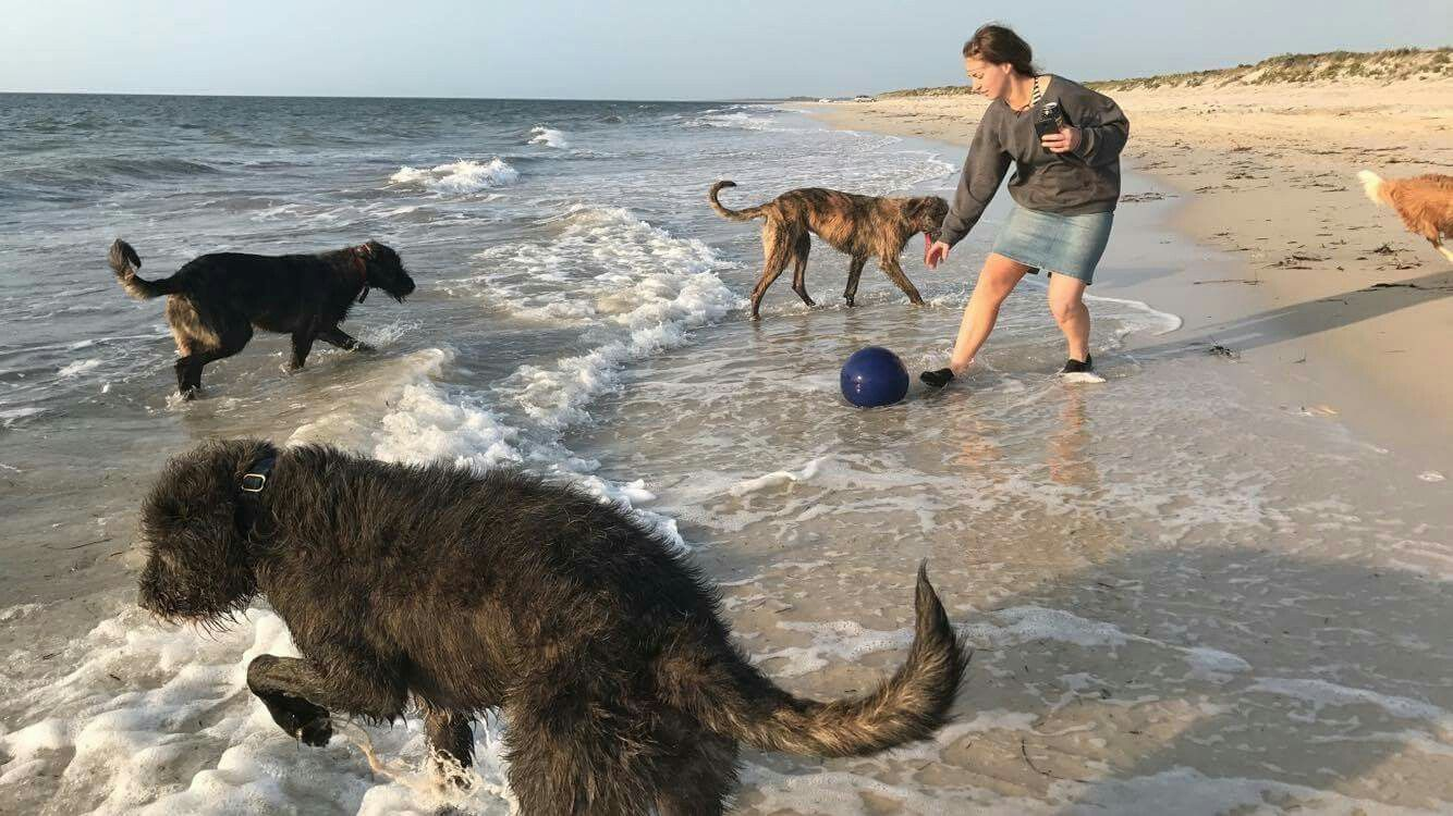 Three Wolfhounds At Play At The Beach In Western Australia Dog