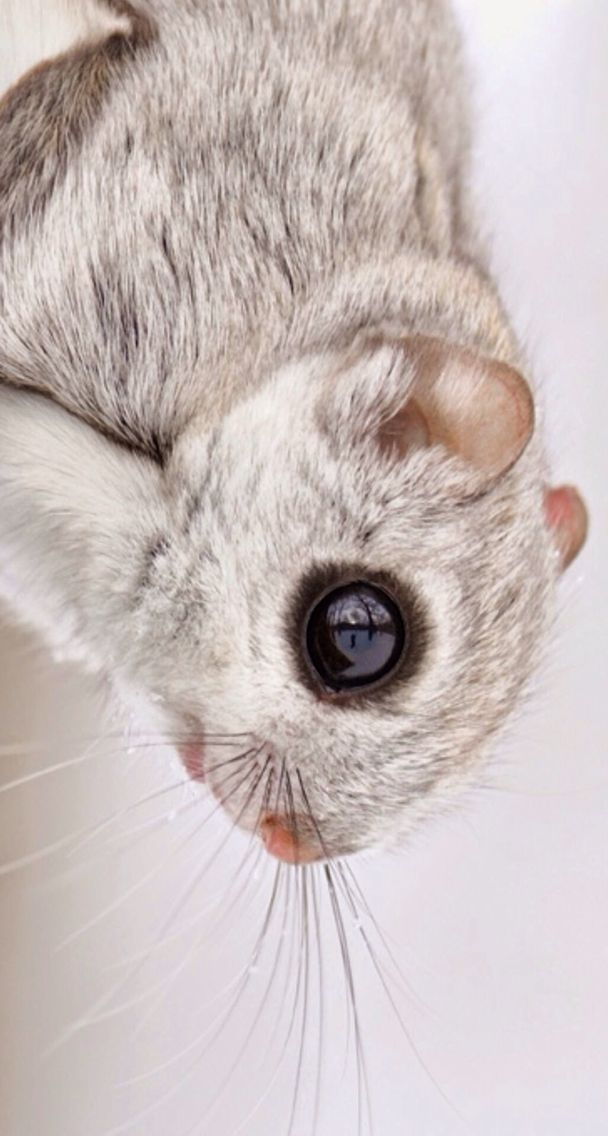 Pin By Delia Sirghie On Wilderness Japanese Dwarf Flying Squirrel Japanese Flying Squirrel Flying Squirrel