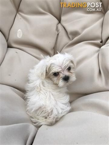 Maltese X Shihtzu Puppies For Sale In Swan Hill Vic Maltese X