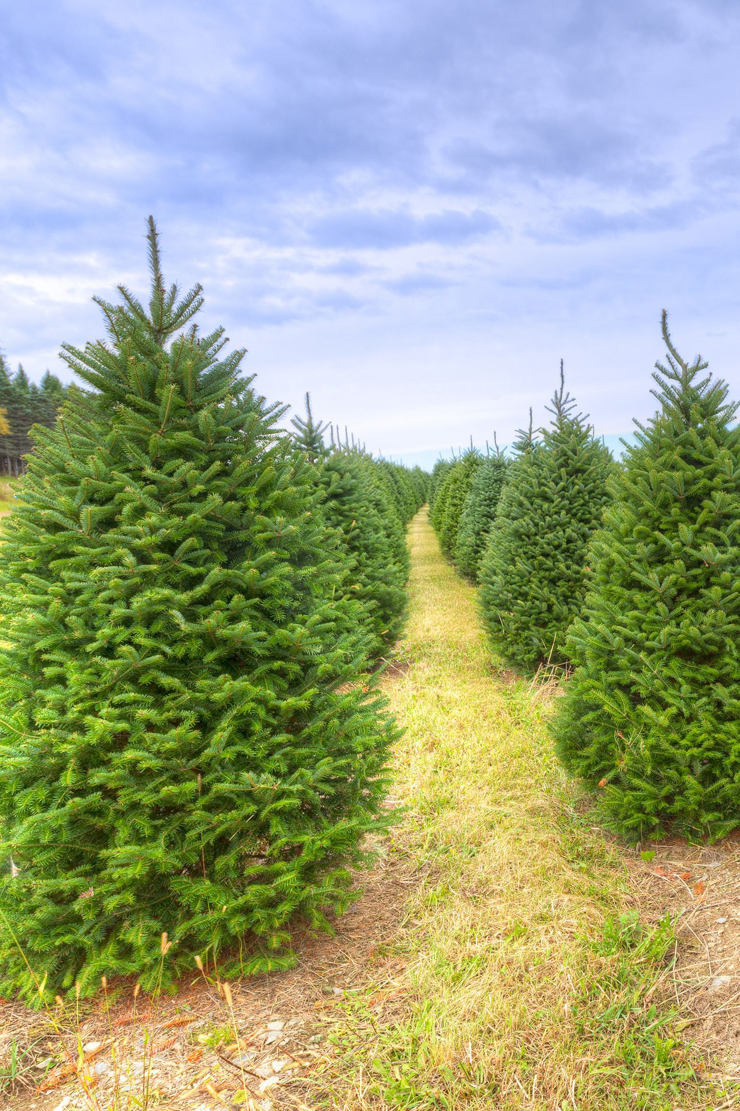 30 Best Christmas Tree Farms Near You For Your Annual Holiday Road Trip Christmas Tree Farm Cool Christmas Trees Tree Farms