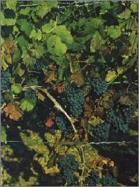 Deutsche Weine | Dunkelfelder |Kräftig in Farbe und Geschmack//Die Rebsorte liefert farbintensive und kräftige Rotweine. Der 1990 zugelassene Dunkelfelder ist besonders interessant zu Wild und verschiedenen Käsearten.